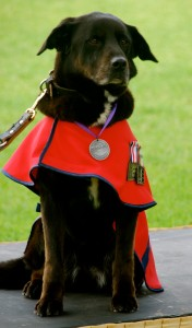 Explosives Detection Dog Sarbi, in her custom-made red EDD Section jacket, at the launch of Saving Private Sarbi